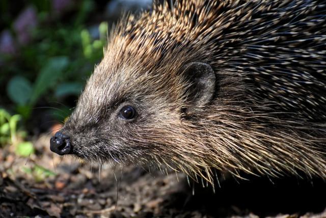 hedgehog-4412730_960_720.jpg